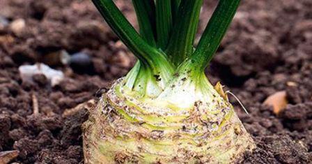Сельдерей корневой выращивание из семян