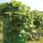 Огурцы в бочке выращивание пошагово, фото и видео подсказки