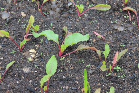 Как сажать свеклу семенами в открытом грунте