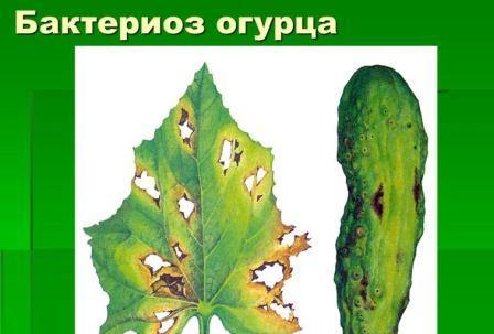Бактериоз огурца фото