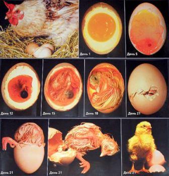 Развитие эмбриона в курином яйце