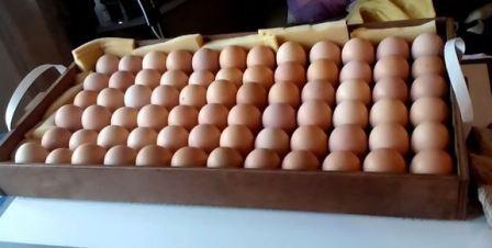 Яйца в лотке, готовы к закладке в инкубатор