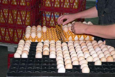 Выведение цыплят в инкубаторе в домашних условиях инструкция