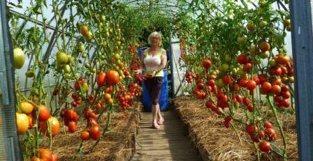 Детерминантные кусты помидоров