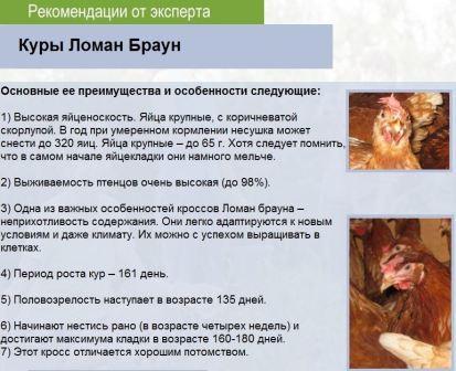 Информация о породе кур ломан браун
