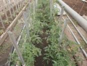 Когда сажать томаты в открытый грунт в 2017 году