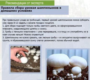 Советы по выращиванию шампиньонов дмоа