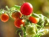 какие сорта помидоров самые урожайные для теплиц
