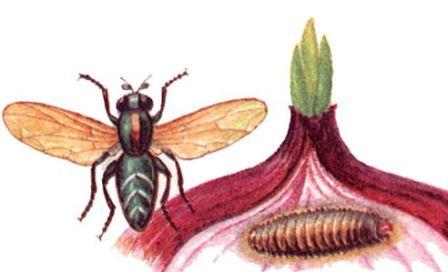 Личинки, также опасны для посевов
