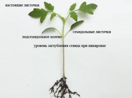 pikirovka_rassady_tomatov