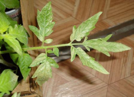 сохнут листья на рассаде помидор