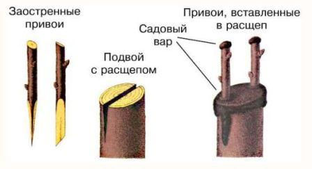 privivka_grushi_10