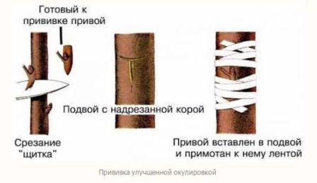 Прививка в ращеп, схема