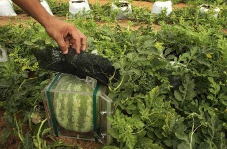Выращивание арбузов в открытом грунте фото