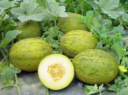 Пока этот овощ растет в открытом грунте, за ним нужен постоянный уход. Прополка, рыхление и полив.
