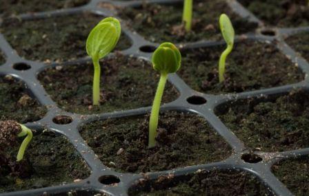 Фото рассады арбуза