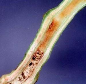 Фото бактериального увядания в стебле