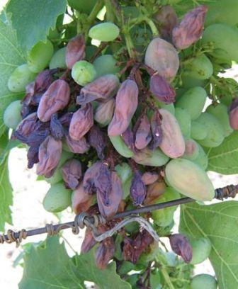 Болезни винограда и борьба с ними