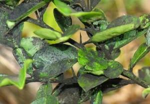 Почему чернеют листья груши.