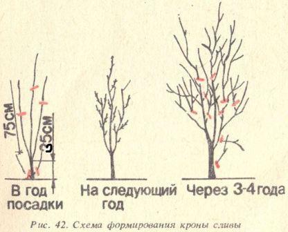 obrezka_slivy_sxema