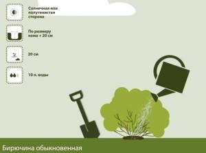 Как посадить бирючину обыкновенную