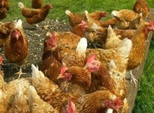 Сколько квадратных метров для одной курицы в птичнике