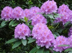 rododendron_foto
