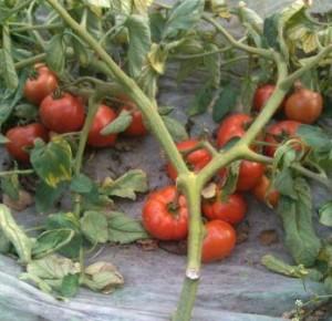 tomat_polbig_f1_1