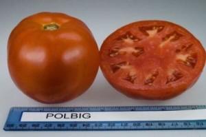 tomat_polbig_f1_3