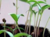 посев перцев на рассаду в 2018 году