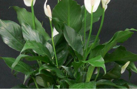 спатифиллум выращивание и уход