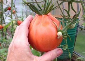томат богата хата