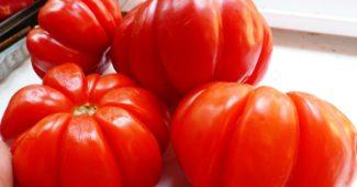 томат пузата хата фото