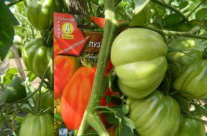 помидоры пузата хата