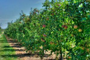 плодовые деревья фото