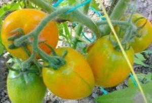 томат подарок феи