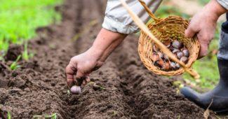 посадка чеснока осенью и весной