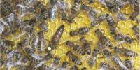 Порода пчел каринка