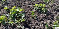 посадка клубники весной