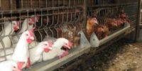 рацион питания для кур несушек в домашних условиях