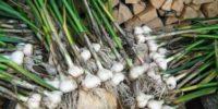 Что можно посадить после лука и чеснока