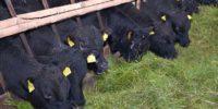 Откорм бычков на мясо в домашних условиях подробная таблица