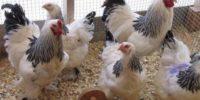 Забой бройлеров, в домашних условиях, как забить курицу правильно
